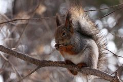 Squirrel eating nuts on a tree. Squirrel eating nuts in winter forest stock image