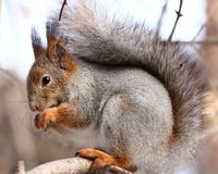 Squirrel eating nuts on a tree. Squirrel eating nuts in winter forest royalty free stock photos