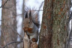 Squirrel eating nuts on a tree. Squirrel eating nuts in winter forest royalty free stock photo