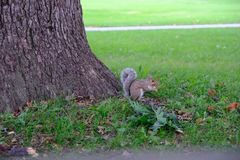 Squirrel eating nuts under the oak tree. In a garden in America royalty free stock photos