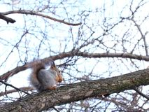 Squirrel eating nuts on a tree. Squirrel eating nuts in winter forest stock photos