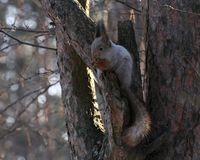 Squirrel eating nuts on a tree. Squirrel eating nuts in winter forest royalty free stock photography