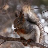 Squirrel eating nuts on a tree. Squirrel eating nuts in winter forest stock photo