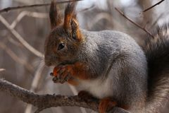 Squirrel eating nuts on a tree. Squirrel eating nuts in winter forest stock photography