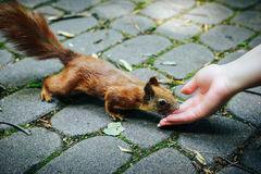 Squirrel eating nuts from woman hand stock images