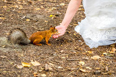 Squirrel eating nuts from woman hand Royalty Free Stock Image