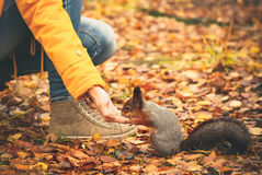 Squirrel eating nuts from woman hand Royalty Free Stock Images