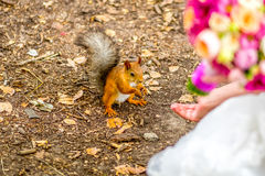 Squirrel eating nuts from woman hand close up Royalty Free Stock Photos