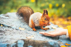 Squirrel eating nuts from woman hand forest on background Royalty Free Stock Photo