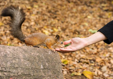 Squirrel eating nuts from woman hand Stock Image