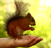 Squirrel eating nuts on woman's hand Stock Photo
