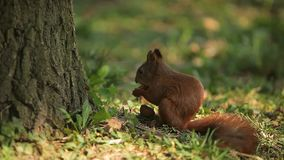 Squirrel eating nuts in the woods stock video
