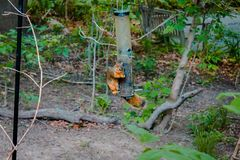 Squirrel eating out of a bird feeder at the Frederick Meijer Gardens royalty free stock photos