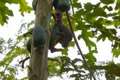 Squirrel eating papaya, adobe rgb Stock Image