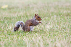 Squirrel eating. Stock Photography