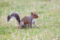 Squirrel eating. Stock Image