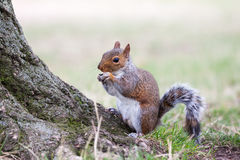Squirrel eating. Royalty Free Stock Image