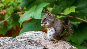 Squirrel eating in the park. Small squirrel eating in the green park Stock Photography