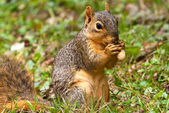 Squirrel Eating A Peanut Stock Photo