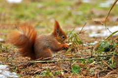 Squirrel eating peanut. In winter time Stock Photo