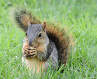 Squirrel eating peanut Royalty Free Stock Image