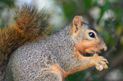 Squirrel Eating a Peanut. In Alvarado, Texas stock photo