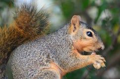 Squirrel Eating a Peanut. In Alvarado, Texas Stock Photo