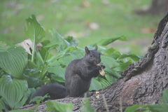 Squirrel eating peanut Royalty Free Stock Photos