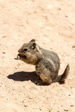 Squirrel eating peanut Royalty Free Stock Photo