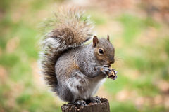 Squirrel eating peanut Stock Image