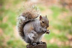Squirrel eating peanut stock image