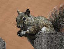 Squirrel Eating Peanut on Fence Stock Images