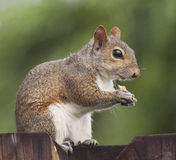 Squirrel eating peanut on a fence Stock Photos
