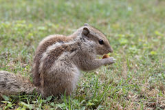 Squirrel eating a peanut Royalty Free Stock Photo