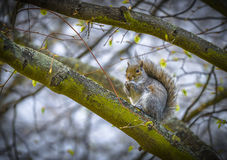Squirrel eating peanut Royalty Free Stock Images