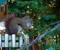Squirrel eating a Peanut. Here is a cute squirrel busily eating a peanut in his treehouse Royalty Free Stock Images