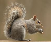 A Squirrel eating a peanut. I really love springtime, when I get to watch all the wildlife Royalty Free Stock Photo