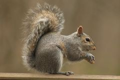 A Squirrel eating a peanut. I really love springtime, when I get to watch all the wildlife Stock Images