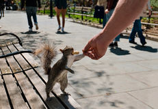 Squirrel eating peanut from man hand Stock Photography