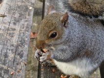 Squirrel eating peanut while on park bench in autumn. Photo is taken in Ruskin Park, Camberwell, and is a close-up of a squirrel eating a peanut royalty free stock photo