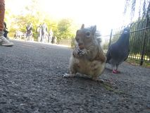 Squirrel eating peanut, with pigeon enviously looking over royalty free stock photography