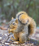 Squirrel eating a peanut. Royalty Free Stock Photo
