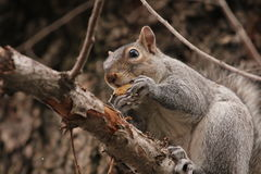 Squirrel eating peanut on a tree Royalty Free Stock Photography