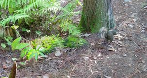 Squirrel eating a peanut. Video of a squirrel eating a peanut at the base of a tree stock video