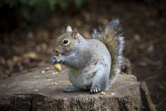 Squirrel eating peanuts Stock Photos