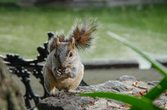 Squirrel eating peanuts in a parc in Mexico city Stock Photo
