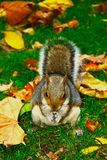 Squirrel eating peanuts in Saint James`s Park, London stock images