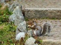 Squirrel eating peanuts Stock Image