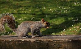 Squirrel eating peanuts Stock Images