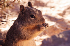 Squirrel eating a penut at the edge of the grand canyon Royalty Free Stock Photos
